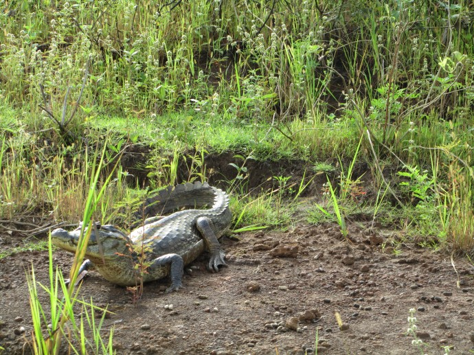 Brasilien - Krokodil