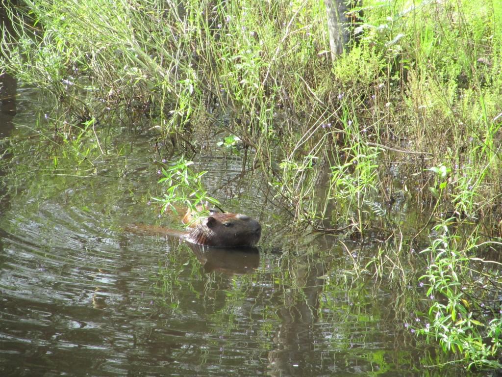 Capybara. Das beste Bild. Immer noch schlecht. Auf Wikipedia gibts bestimmt Bessere.